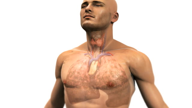 animation depicting  diseased lungs due to smoking. the camera zooms in as the body fades to reveal the lungs. - trachea stock videos & royalty-free footage