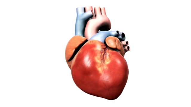 animation depicting the anatomy of the heart.   the camera pans from right to left and back again.  the frontal section of the heart dissolves to reveal the interior valves and chambers. - ventricolo cardiaco video stock e b–roll