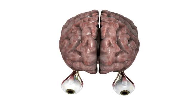 animation depicting the brain and eyes including the surrounding nerves and muscles. the camera begins from an elevated position and moves into a full rotation as it moves down towards the eyes. - biomedical illustration video stock e b–roll
