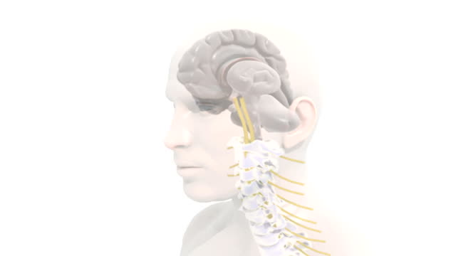 Animation depicting the brain, spinal column and spinal cord within the body. The camera zooms to the right hemisphere of the brain, pans down the spine and zooms out to show the full spinal cord and
