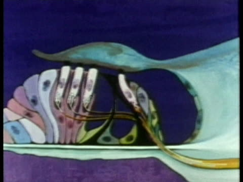 1969 ECU PAN Animation depicting the conversion of physical stimulus to nerve impulses, flowing along the nerve fibre from the organ of corti within the human auditory system/ USA/ AUDIO