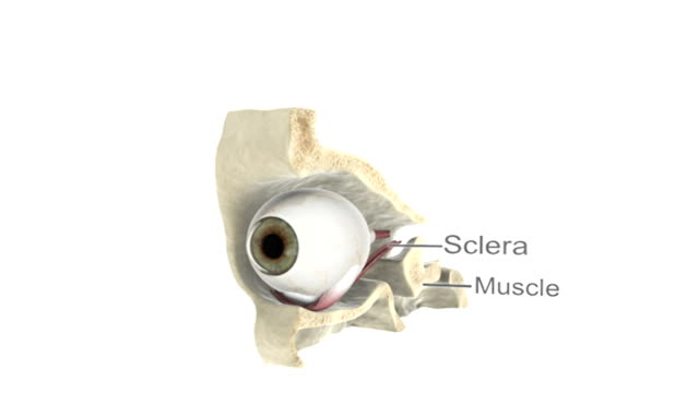Animation depicting the eye in situ with cutaway skull and brain. The brain fades down as the camera zooms in and centers on the anatomy of the cutaway eye. Labels are used to distinguish the differen