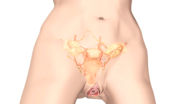Animation depicting the female reproductive system fading up within the female body. The Camera pans from left to right and then zooms towards organs.