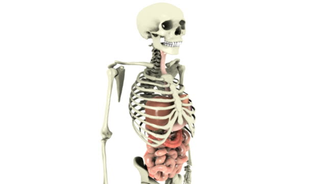 animation depicting the gastrointestinal system within the human skeleton, rotating 360 degrees. - human intestine stock videos & royalty-free footage
