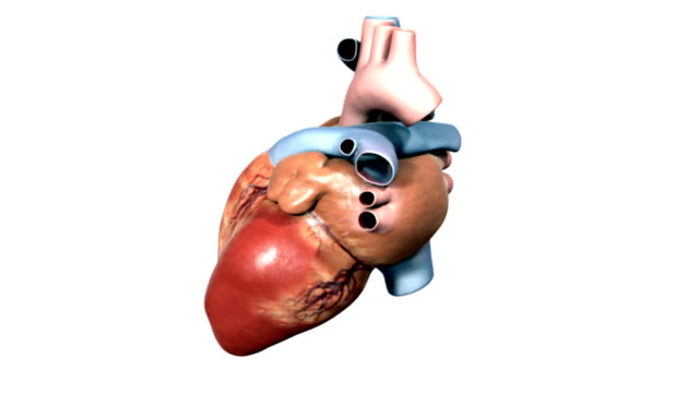 animation depicting the heart anatomy.  as the camera rotates around the heart the chambers and valves fade up in an x-ray style. - biomedical illustration stock videos & royalty-free footage
