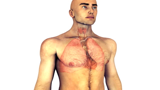 Animation depicting the heart and lungs within the human body.  The camera pans from left to right as it zooms into the thorax.