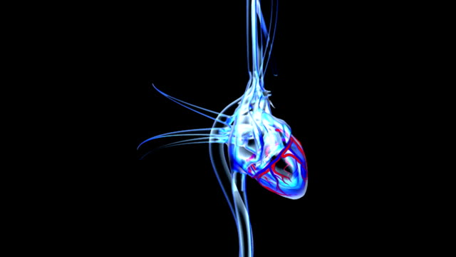 animation depicting the heart with primary veins and  arteries in an x-ray style.  the surrounding coronary arteries and cardiac veins are clearly visible. the camera rotates around the object as it z - biomedical illustration stock videos & royalty-free footage