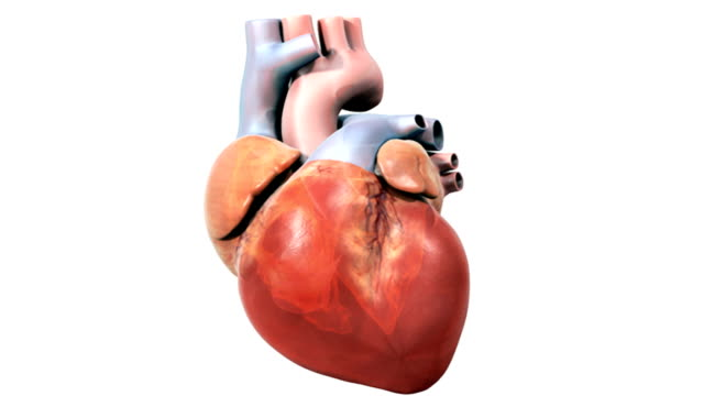 animation depicting the human heart. as the camera pans from left to right the inner heart chambers can be seen fading up. - ventricolo cardiaco video stock e b–roll