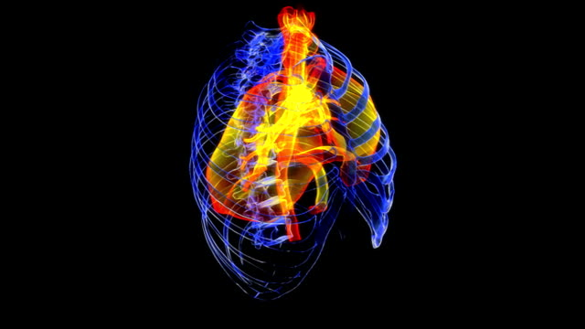 animation depicting the lungs and respiratory system within the ribcage.  all elements within the animation have a stylized x-ray style look to them. - bronchi stock videos & royalty-free footage