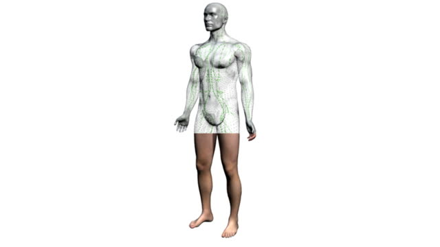 animation depicting the lymphatic system within a wire mesh of the human body. the camera rotates around a male body as the skin fades down to reveal a wireframe beneath. the lymphatic system them fad - lymphatic system stock videos & royalty-free footage