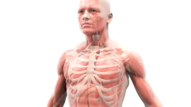 vídeos y material grabado en eventos de stock de animation depicting the mechanism of breathing. as the camera rotates around the body it shows the lungs within the thorax inflating and deflating caused by inhalation and exhalation as it fades from - caja torácica humana
