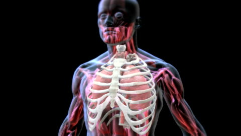 vídeos de stock e filmes b-roll de animation depicting the mechanism of breathing, in x-ray style. it shows the lungs within the thorax inflating and deflating caused by inhalation and exhalation. - equipamento respiratório