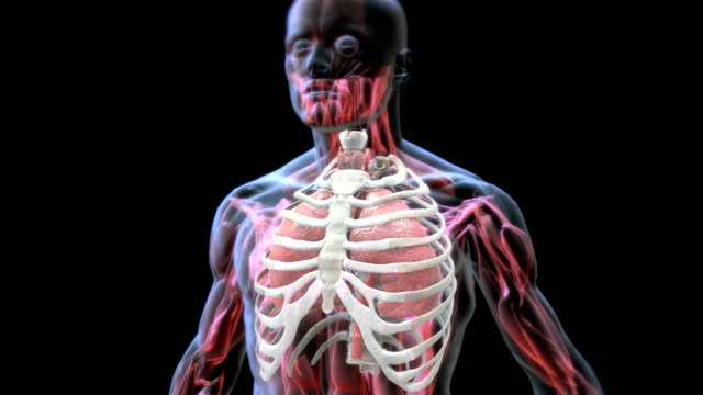 animation depicting the mechanism of breathing, in x-ray style. it shows the lungs within the thorax inflating and deflating caused by inhalation and exhalation. - brustkorb menschlicher knochen stock-videos und b-roll-filmmaterial
