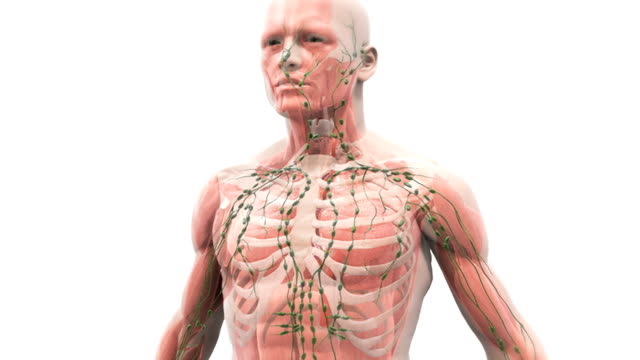 Animation depicting the mechanism of breathing. The camera rotates around the lungs within the thorax as they inflate and deflate caused by inhalation and exhalation. Also present is the lymphatic sys