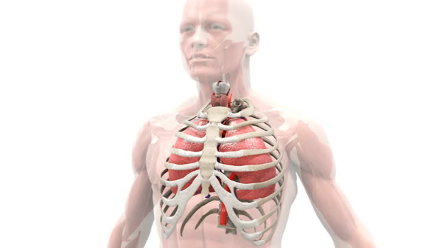 Animation depicting the mechanism of breathing. The camera rotates around the semi-transparent male thorax, showing the lungs within the ribcage inflating and deflating caused by inhalation and exhala