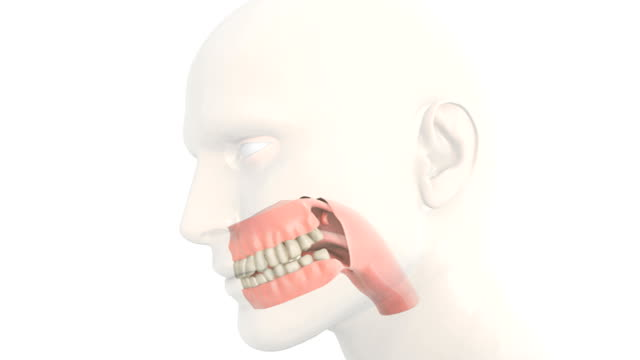 Animation depicting the pharynx, teeth, gums and tongue. The head is also visible but fades out as the camera zooms in on the pharynx, teeth, gums and tongue.