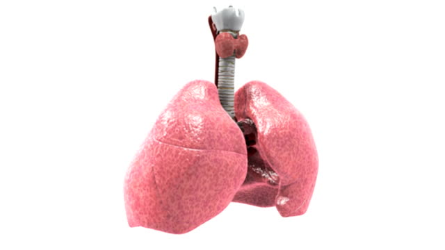 animation depicting the respiratory system rotating fully .  as the organs are rotating the camera slightly zooms in. - trachea stock videos & royalty-free footage