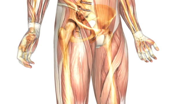 Animation depicting the skeletal system within the muscular system.  The camera pans up from the feet to the head and then zooms out to show the full body systems.