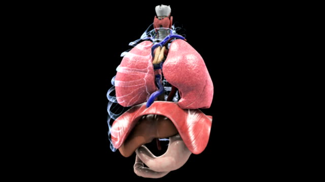 animation depicting the thorax. as the camera turns 180 degrees, elements of the abdomen fade, then the ribs (in x-ray style) fade, leaving the lungs and trachea. - sichtbarer atem stock-videos und b-roll-filmmaterial