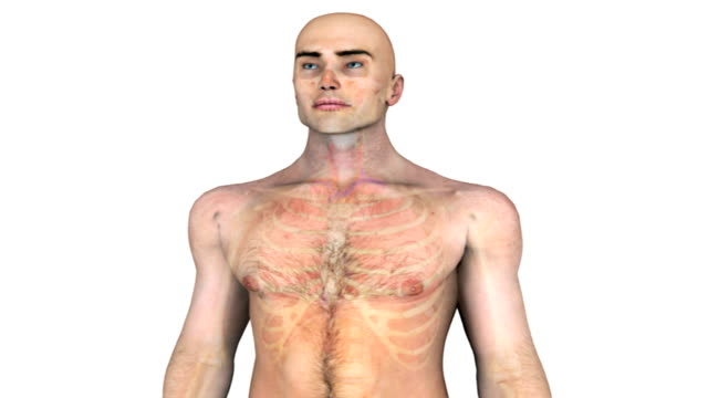 animation depicting the thorax.  the camera turns 180 degrees as the body fades to reveal the skeleton and thorax. it then pans down the thorax . - sternum stock videos & royalty-free footage