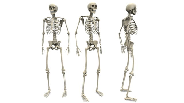 animation depicting three skeletons, with the middle of the three is rotating fully in an anti-clockwise motion. the left skeleton is of an anterior view and the right is of a lateral view. - brustkorb menschlicher knochen stock-videos und b-roll-filmmaterial