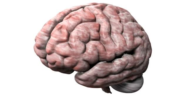 Animation depicts a 180 degree rotation of the brain. As the camera turns the right lobe fades to reveal the interior anatomy of the brain.