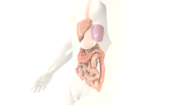 Animation depicts a full rotation of the gastrointestinal system within the human body.  The camera slowly zooms in to show a 360-degree close-up view of the small intestines.