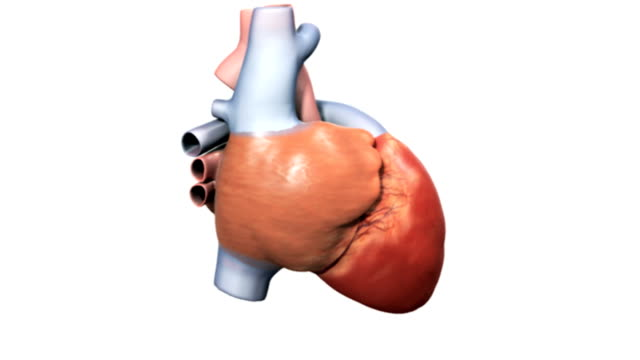 animation depicts a full rotation of the heart. - human vein stock videos & royalty-free footage