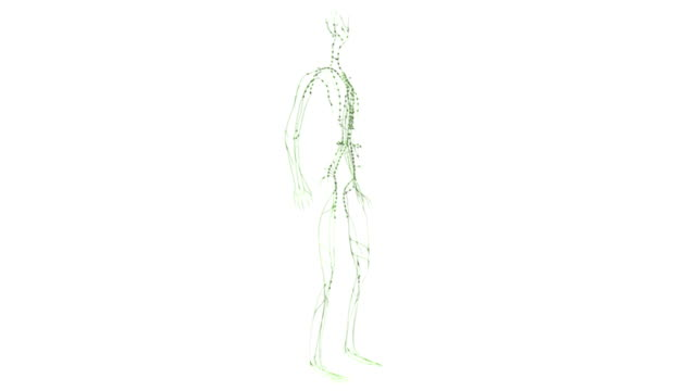 Animation depicts a full rotation of the lymphatic system or lymphoid system.