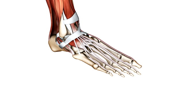 vídeos y material grabado en eventos de stock de animation depicts the bones, muscles and tendons of the foot. the camera zooms into the foot and then pans from left to right. - pie anatomía