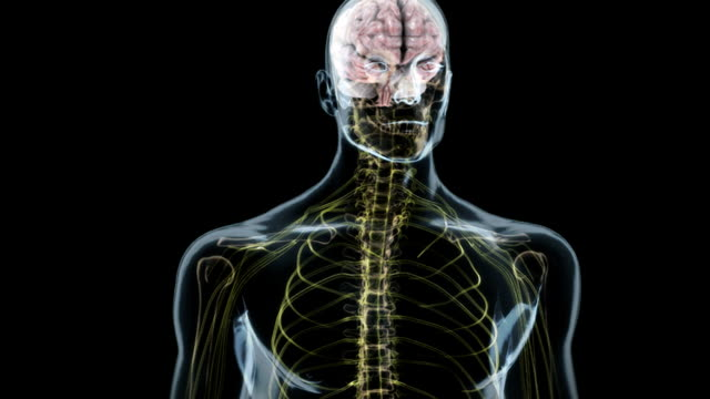 Animation depicts the brain and central nervous system. The body and skeleton are also visible in X-Ray style. The camera zooms from a wide shot to a close-up shot of the Brain.