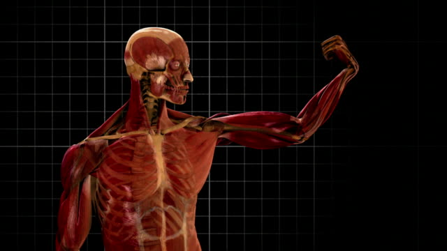 a 3d animation depicts the contraction of muscles in the human muscular system. - the human body stock videos & royalty-free footage