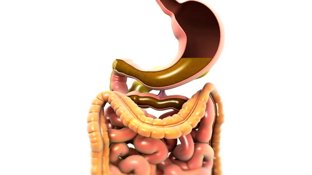 animation depicts the digestive system with cutaway esophagus and stomach. the camera zooms to the cutaway stomach showing gastric juices and moves down to the large and small intestine before zooming - human small intestine stock videos & royalty-free footage