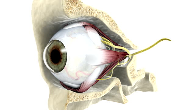 Animation depicts the human eye, with surrounding nerves and muscles, within a section of the skull.