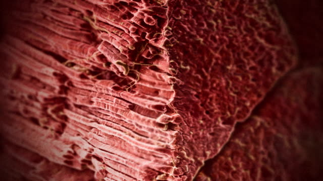 a 3d animation depicts the striated fibers of human muscles. - anatomy stock videos & royalty-free footage