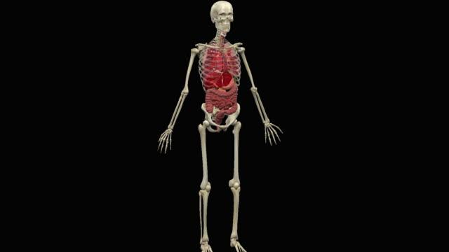 animation of human abdominal organs - biomedical illustration stock videos & royalty-free footage