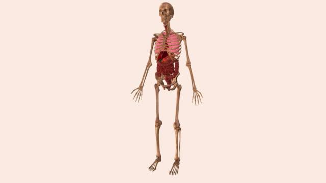 vidéos et rushes de animation of human abdominal organs - illustration biomédicale