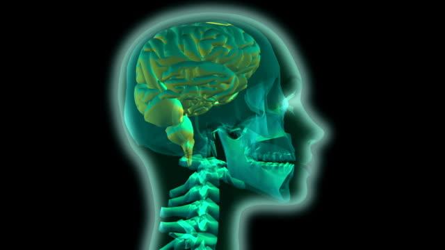 cgi cu animation of human head and brain - biomedical illustration stock videos & royalty-free footage