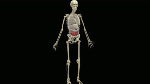 animation of human intestines - human representation stock videos & royalty-free footage
