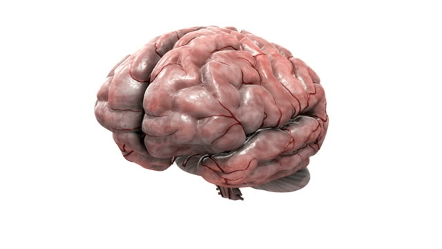 Animation of the brain. The camera pans down from a superior view to a lateral view and then the brain rotates 360 degrees. The cerebrum then dissolves revealing the brainstem, diencephalon and arteri