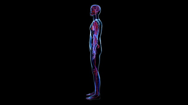 stockvideo's en b-roll-footage met animation of the male circulatory system against a black background - loopable moving image