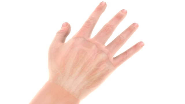 Animation showing the bones, veins, muscles and tendons within the hand.  The camera rotates on its axis and zooms in as part of the hand dissolves revealing the internal anatomy.
