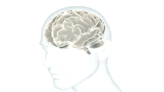 Animation showing the human brain in situ within a transparent male head. The camera pans around from right to left.
