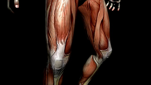 Animation which depicts the male muscular system. The camera pans up while rotating around the body showing the various muscles in detail and it then zooms out to show the full muscular system.