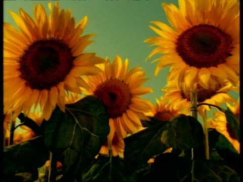 BCU Animatronic Sunflowers, flower heads rise and turn to sun, camera tracks up to reveal field then sky
