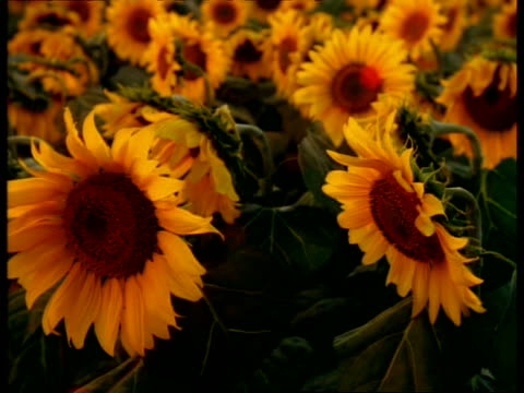 cu animatronic sunflowers, flower heads rise and turn to sun, camera tracks up to reveal field then clear sky - following stock videos & royalty-free footage