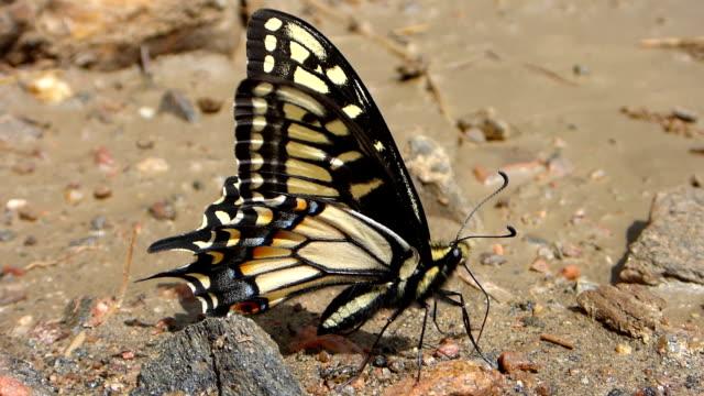 Anise swallowtail feeding Waterton Canyon Littleton Colorado
