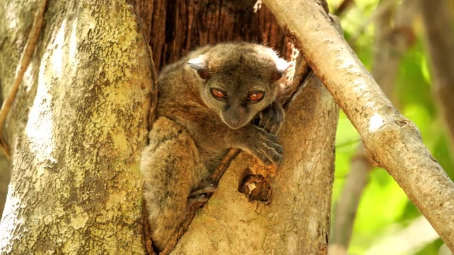ankarana sportive lemur - madagascar stock videos & royalty-free footage