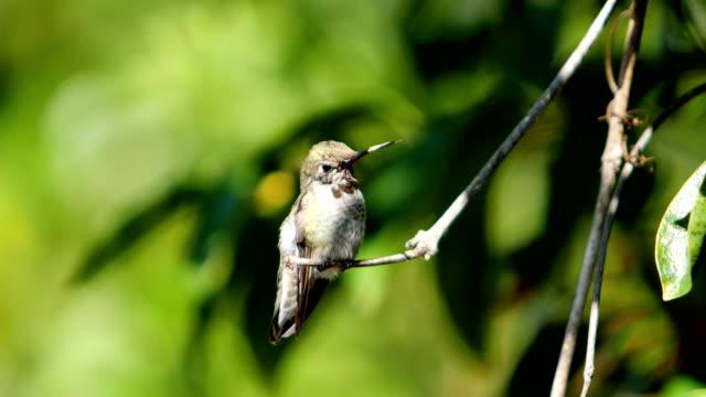 anna's hummingbird - hummingbird stock videos and b-roll footage