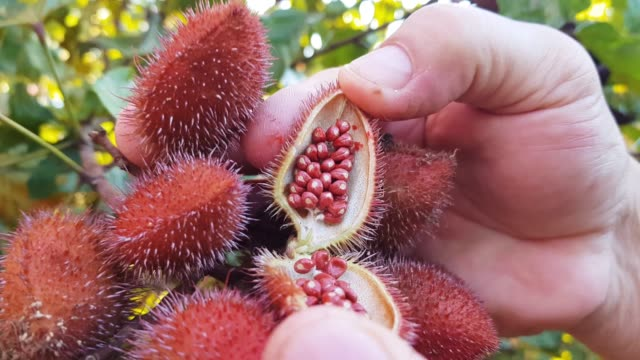 annatto - seed stock videos & royalty-free footage